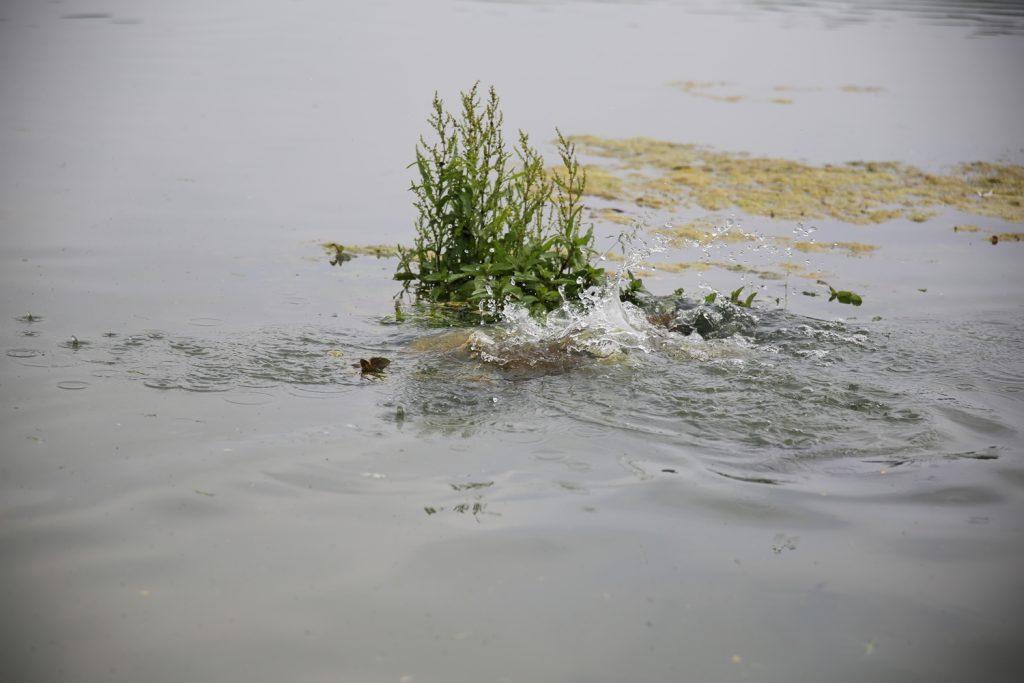 De eerste karpers zetten koers richting de paaigronden. Zorg dat je er bij bent